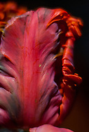 Still life detail of a vivid scarlet red parrot tulip with dramatic petals against a dark background