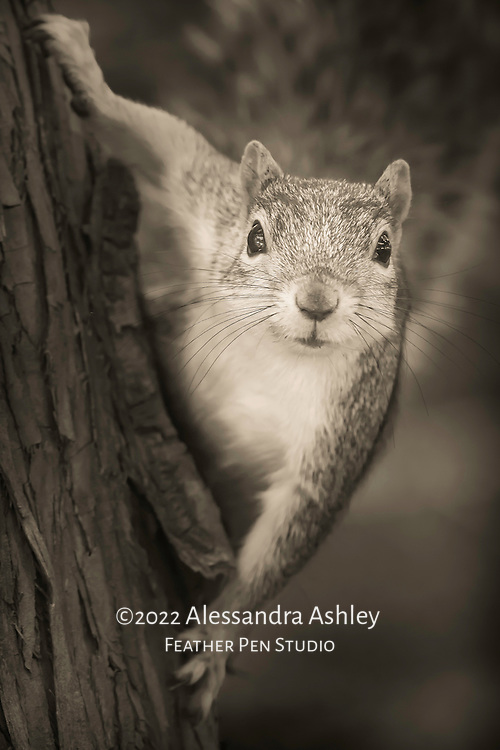 Squirrel hanging from tree mid-climb, looking at photographer with curiosity.