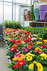 Daisy flowers for sale in garden centre, Augsburg, Bavaria, Germany
