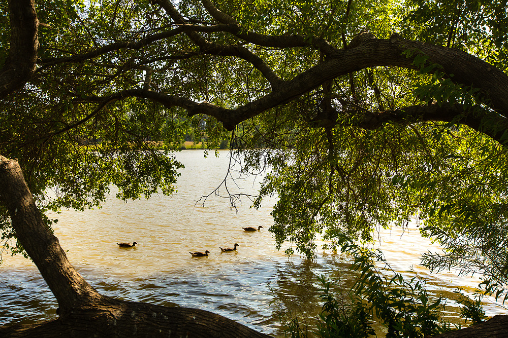 Ducks swim at the lake of Park Hayarkon in Tel Aviv's Tzafon Yashan neighborhood