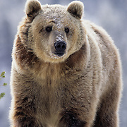 Grizzly Bear (Ursus horribilis) in the Rocky Mountains of Montana during the winter. Captive Animal