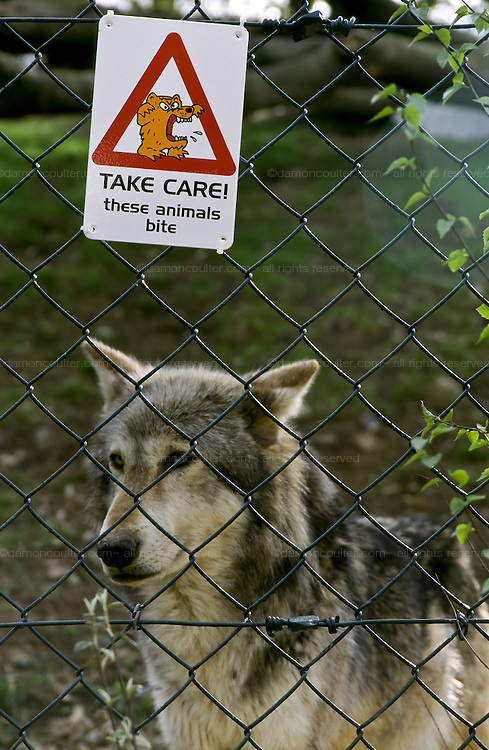 A Timber wolf behind a fence with a warning about feeding the animals at Chester Zoo, UK