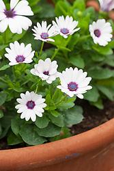 Osteospermum F1 Akila White Purple eye