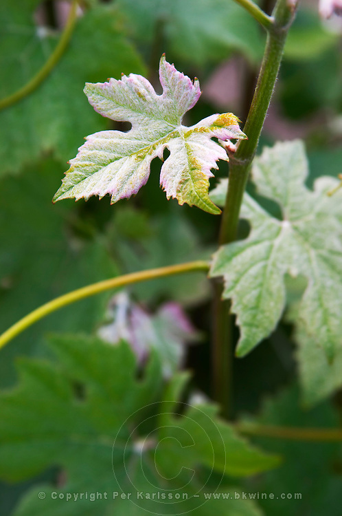 A pinot Meunier vine. You can recognize it from the leaves leaf, in particular the smaller leaves, that have a white whitish cover as if they were sprinkled with flour (Meunier) Champagne Francois Seconde, Sillery Grand Cru, Montagne de Reims, Champagne, Marne, Ardennes, France