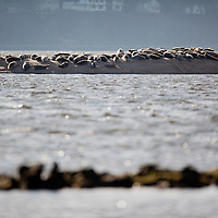 Harbor Seals Group