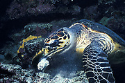 hawksbill sea turtle, Eretmochelys imbricata, Layang Layang atoll, feeding by scraping invertebrates off a piece or coral rubble, Spratly Islands, Malaysia ( South China Sea )