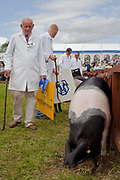 Contestants in the Saddle back pig class. The hairdryers are out and the shampoo is flowing at the Great Yorkshire Show, one of Britain's biggest agricultural shows. Its famous for its competitive displays of livestock. The event, established in 1837, attracts over 125 000 visitors a year and has over 10 000 entries to its pedigree competitions ranging from pigeons and rabbits to bulls and shire horses. At the heart of the show is the passion of the exhibitors who spend hundreds of hours ( and pounds)  training, preparing and grooming their animals.