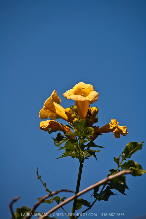 Trumpet flower (Campsis radicans) a profusely flowering and agressive native vine.