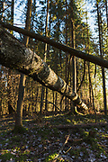 Sharp light from afternoon sun and both standing and fallen trees crisscrosses the forest, forests around River Amata, near Skujene, Latvia Ⓒ Davis Ulands | davisulands.com