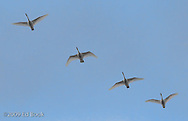 Four wintering Trumpeter Swans (Cygnus buccinator) fly overhead, Fox Island, Skagit River delta, Washington, USA