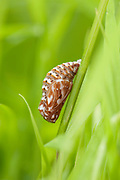 Heath Fritillary Butterfly, Pupae, chrysalis, Mellicta athalia, Blean Woodlands, Kent UK, on stem of grass, colourful, brown and white, one of our rarest UK butterflies, Fully protected in Great Britain under Schedule 5 of the Wildlife and Countryside Act 1981