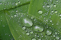 Raindrops on the leaves of Lily-of-the-valley (Convallaria majalis).<br /> Stockholm Archipelago, Sweden