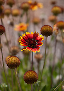 Red and yellow round Gaillardia Blanket flowers fill a meadow with bright colors and pincushion shapes