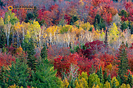 Looking down at peak fall colors in the Beaver Basin Wildernees at Pictured Rocks National Lakeshore, Michigan, USA