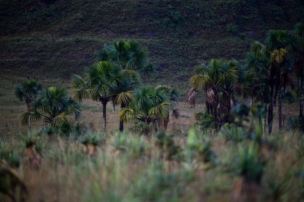 Alto Paraiso de Goias_GO, Brasil...Coqueiros no Parque Nacional da Chapada dos Veadeiros em Goias...Coconuts-tree in the Parque Nacional da Chapada dos Veadeiros in Goias...Foto: JOAO MARCOS ROSA / NITRO..