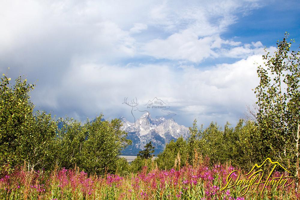 Fireweed, Grand Tetons, wildflowers of Grand Teton National Park
