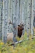 Bull elk during the autumn rut in an aspen stand