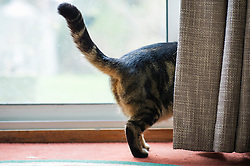 Domestic tabby cat walking behind a curtain, Leicester, England, UK.