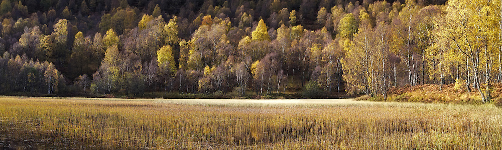 Birch trees in autumn colours surround a pool in the Cairngorms National Park, Scotland