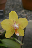 yellow orchid flower plant