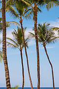 Several coconut palm trees (Cocos nucifera) reach into the sky over the Pacific Ocean on the western coast of the Hawaiian island of Maui.