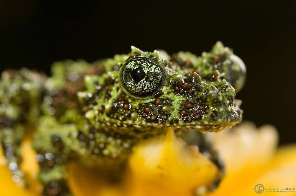 Captive Vietnamese Mossy Frog (Theloderma corticale).