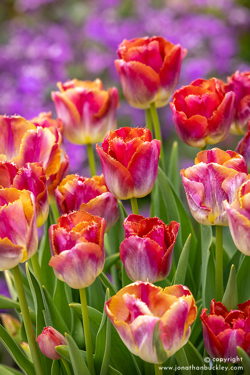 Tulipa 'Sunset Miami' in a terracotta pot with honesty