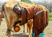 Africa, Tanzania, female members of the Datoga (Datooga) tribe in traditional dress, milks a cow. Beauty scarring can be seen around her eyes