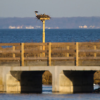 An pair of nesting Ospreys on the nest in the marshy area of Horseshoe Cove at Sandy Hook.