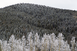 snow on the Aspen and Pine Trees in the Santa Fe Mountains of New Mexico