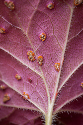Rust damage on the leaves of  Heuchera 'Blondie'