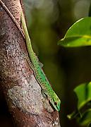 Speckeled day gecko (Phelsuma guttata) from Palmarium, eastern Madagascar.