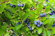 Organic Blueberries in the Fraser Valley of British Columbia, Canada