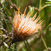 Chuquiraga is a genus of flowering plant in the Asteraceae family. Quilotoa, in the highlands of Ecuador, South America.