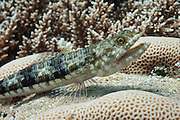 Reef or variegated lizardfish (Synodus variegatus) on tropical coral reef - Agincourt Reef, Great Barrier Reef, Queensland, Australia. <br />