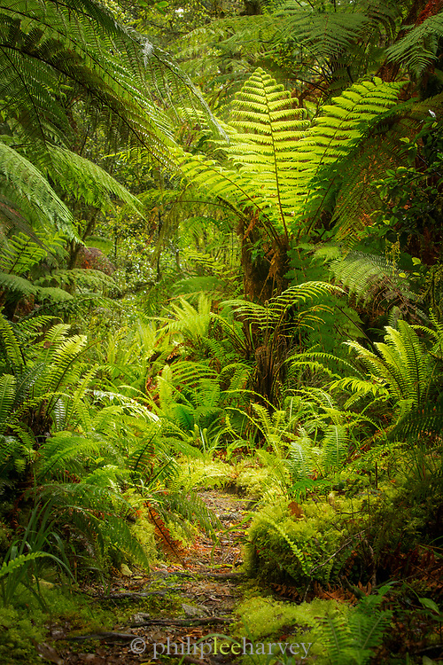 Landscape with lush foliage with green tree ferns and footpath along Routeburn Track between Lake Mackenzie to Divide Shelter, South Island, New Zealand