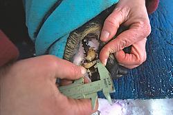 Measuring Teeth Of Black Bear #5