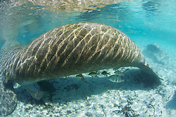 Manatee With Little Fish, Three Sisters Spring