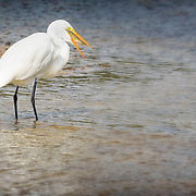 Great egret (Ardea alba) with large fish positioned inside its bill after a successful catch.