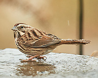 Song Sparrow (Melospiza melodia). Image taken with a Nikon D5 camera and 600 mm f/4 VR lens