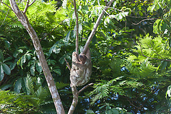 Three-toed Sloth on tree in Tortuguero national park, Costa Rica