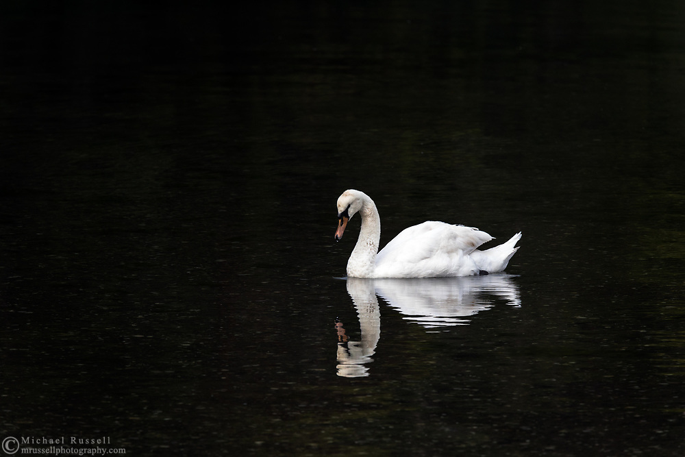 A Mute swan (Cygnus olor) searching for food along the shoreline at Fulford Harbour on Salt Spring Island, British Columbia, Canada.  Mute Swans are not native to Salt Spring Island and are considered an invasive species  in North America.