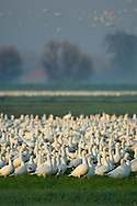 Flock of Ross's Geese in green grass field in morning during migration, Merced National Wildlife Refuge, Central Valley, California