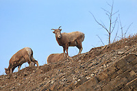 """When you're driving through the Rocky Mountains, and you see a big yellow sign that says """"Rocky Mountain Bighorn Sheep Next 2km"""", you really have to slow down and look around.  Because they really are there. And there might even be lots of them.  I found over 40 of them today and managed to make lots of images!..©2010, Sean Phillips.http://www.Sean-Phillips.com"""