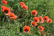 Oriental poppy (Papaver orientale) Photographed in Armenia