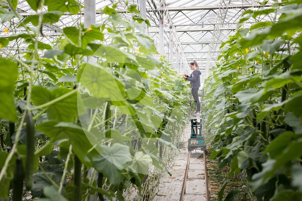 SCHWEIZ - NIEDERBIPP - Ein Mitarbeiter arbeitet im Gurkengewächshaus bei Bösiger Gemüsenkulturen AG - 21. Juni 2019 © Raphael Hünerfauth - http://huenerfauth.ch