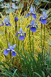 Iris sibirica 'Placid Waters' in front of Carex elata 'Aurea'
