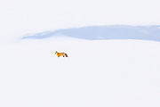 A red fox (Vulpes vulpes) hunts for food in a vast, snow-covered landscape along the Lamar River in Yellowstone National Park, Wyoming.
