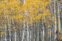 The last remaining golden aspen leaves of Utah's Fall Colors along the Alpine Loop in American Fork Canyon.