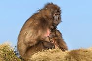 Dschelada-Weibchen (Theropithecus gelada) mit ihrem Jungen, Simien Nationalpark, Debark, Region Amhara, Äthiopien<br /> <br /> Gelada female (Theropithecus gelada) with her young, Simien National Park, Debark, Amhara Region, Ethiopia